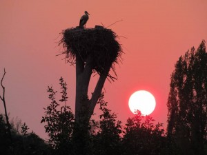 Stork in Marchegg Camille Thomas